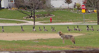 coyote and geese in neighborhood park