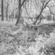 Wolf seen on Sauk County trail cam