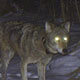 Collared gray wolf seen on trail cam in Rusk County